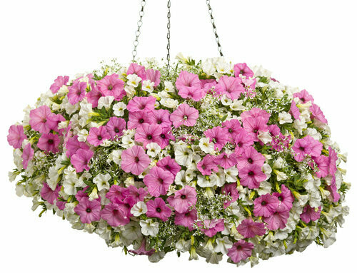 "Italian Ice (12"" Hanging Basket) $49.99"