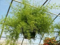 Sprengerii Asparagus Fern (Hanging Basket) $39.99