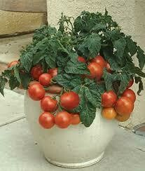 Tomato Patio (gallon vegetable pot)