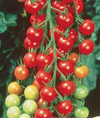 Tomato Supersweet 100 Cherry (gallon vegetable pot)