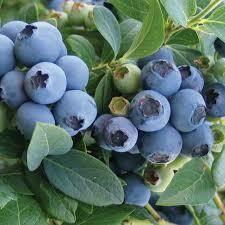 Blueberry Bluecrop (2 gallon) $39.99