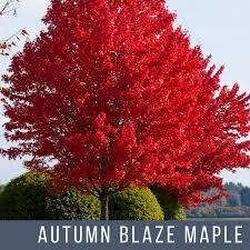 "Maple Autumn Blaze (15 gal or 1.5"" b/b) $179.99"