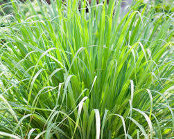 "Lemon Grass East Indian (3"" herb pot) $6.99"