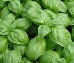 "Basil Sweet (3"" herb pot) $6.99"