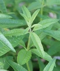 "Lemon Verbena (3"" herb pot) $6.99"