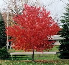Maple Red Sunset (15 gal) $189.99