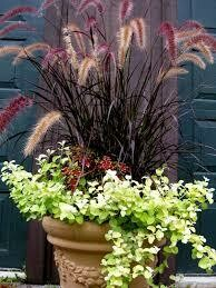PW Grass Purple Fountain Pennisetum (gallon pot) $9.99