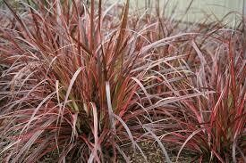 PW Grass Fireworks Pennisetum (gallon pot) $9.99