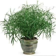 PW Grass Baby Tut (gallon pot) $9.99