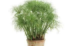 PW Grass Prince Tut (gallon pot) $9.99