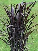 PW Grass Vertigo (gallon pot) $9.99