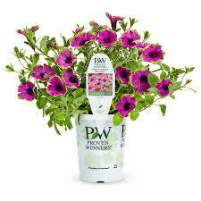PW Petunia Picasso In Purple (quart pot)