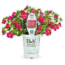 PW Million Bells Cherry Star (quart pot)
