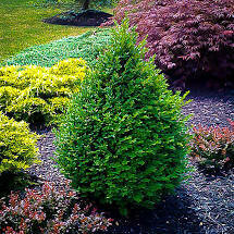 Boxwood Green Mountain Pyramidal (3 gallon) $49.99