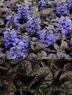 Ajuga BLACK SCALLOP Bugleweed (quart perennial) $9.99