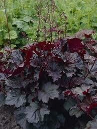 Heuchera Palace Purple Coral Bells (gallon perennial) $9.99