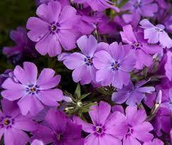 Phlox Creeping Spring Purple (quart perennial) $9.99
