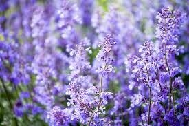 Nepeta Catmint Walker's Low (gallon perennial) $9.99
