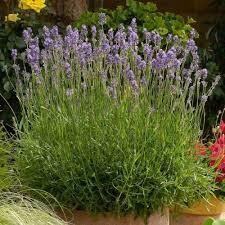 Lavandula Munstead Lavender (quart perennial) $9.99