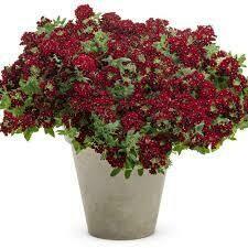 PW Verbena Superbena Royale Romance (quart pot)