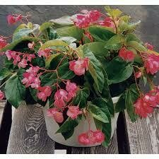 PW Begonia Dragon Wing PINK (quart pot)