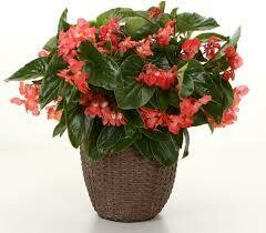 PW Begonia Dragon Wing RED (quart pot)