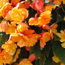 PW Begonia Illuminaton Apricot (quart pot)