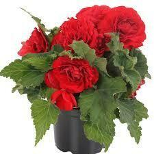 PW Begonia Nonstop Red (quart pot)
