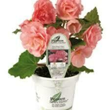 PW Begonia Nonstop Pink (quart pot)