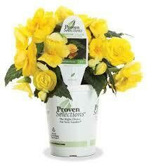 PW Begonia Nonstop Yellow (quart pot)