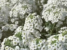 PW Lobularia White Knight/White Stream (quart pot)