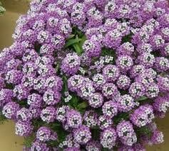 PW Lobularia Dark Knight/Purple Stream (quart pot)