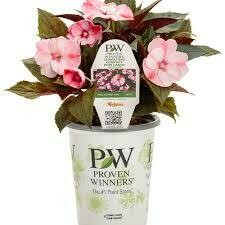 PW Sunpatiens Blush Pink (quart pot)