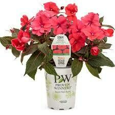 PW Sunpatiens Deep Rose (quart pot)