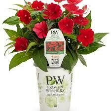 PW Sunpatiens Fire Red (quart pot)