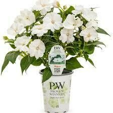 PW Sunpatiens White (quart pot)