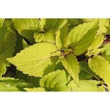 PW Coleus Stained Glassworks Big Blonde (quart pot)