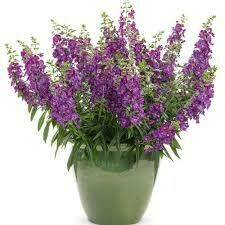 PW Angelonia Angelface Blue (quart pot)