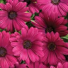 PW Osteospermum Bright Lights Purple Daisy (quart pot)