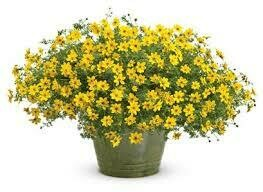PW Bidens Goldilocks Rocks (quart pot)