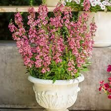 PW Angelonia Angelface Perfectly Pink (quart pot)