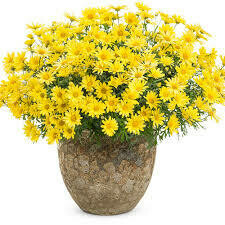 PW Argyranthemum Golden Butterfly Daisy (quart pot)
