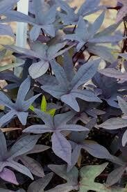 PW Sweet Potato Vine Blackie (quart pot)