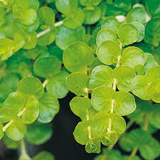 PW Lysimachia Goldilocks Creeping Jenny  (quart pot)