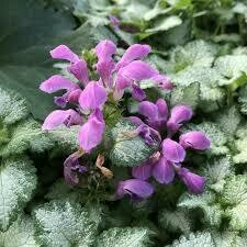 PW Lamium Purple Chablis (quart pot)