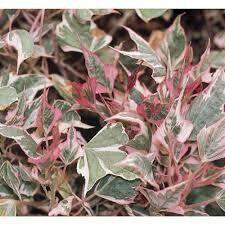 PW Sweet Potato Vine Tricolor (quart pot)