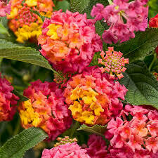 PW Lantana Luscious Berry Blend (quart pot)