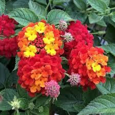 PW Lantana Luscious Citrus Blend (quart pot)