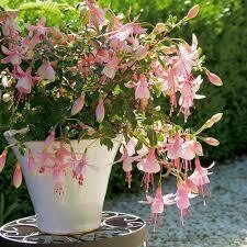 PW Fuchsia Shadow Dancers ROSELLA (quart pot)