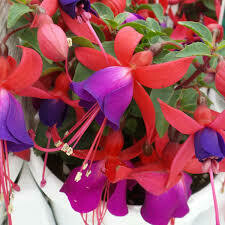 PW Fuchsia Shadow Dancers MARCIA (quart pot)